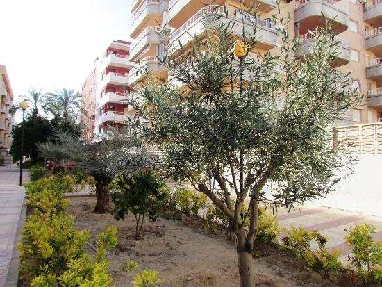 olive_trees_daimus
