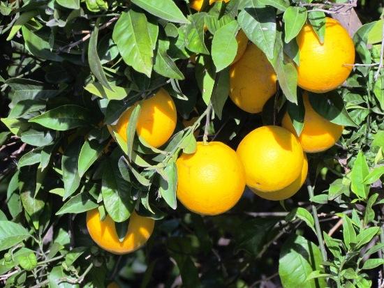 oranges_daimus